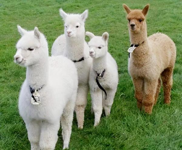羊驼(学名:lama pacos):中国又叫草泥马为偶蹄目,骆驼科的动物,体重