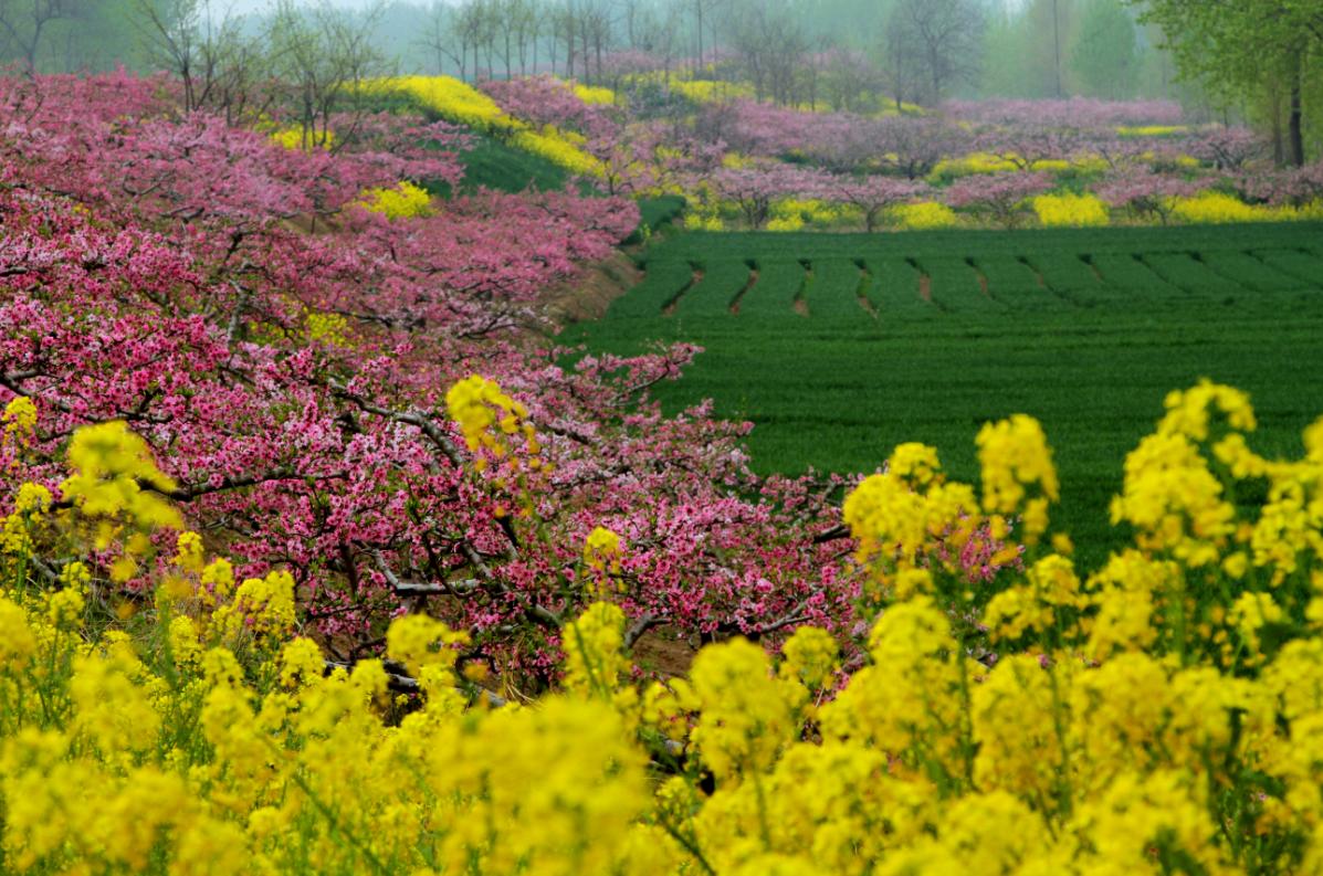 壁纸 成片种植 风景 花 植物 种植基地 桌面 1197_793